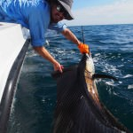 P5260002 150x150 Sailfish have been absolutely rampaging for our fishing charters off Broome!