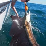 P6020111 150x150 Sailfish have been absolutely rampaging for our fishing charters off Broome!