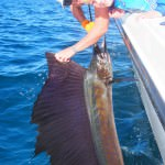 P6150252 150x150 Sailfish have been absolutely rampaging for our fishing charters off Broome!