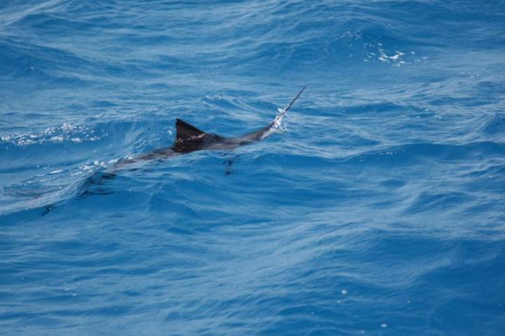 Sailfish Feeding 6 720x479 Sailfish Feeding 6